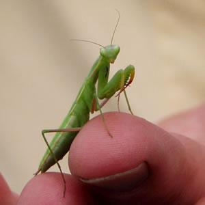 preying-praying-mantis.jpg