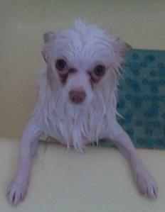 long-haired-white-chihuahua-walt-whitman